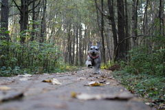 Waking my Dog Milo. Happy to get outside again Royalty Free Stock Photography