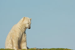 Waking Polar Bear 1 Royalty Free Stock Photos