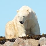 Waking Polar Bear on the rocks 2. Lazy Canadian Polar Bear wallowing, stretching and sleeping on some rocks next to the arctic tundra of the Hudson Bay near stock images
