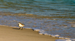 Waking Sandpiper Royalty Free Stock Photography