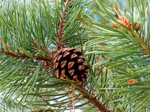 Evergreen branches of pines with cones. Waking up pines in the spring sun. Cones like decoration on the branches Royalty Free Stock Photography