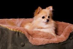 Waking Up Pup Stock Image