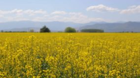 Wakling through a rapeseed field stock footage