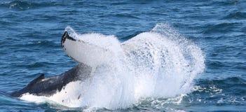 Wal, der auf das Gold Coast aufpasst lizenzfreie stockbilder