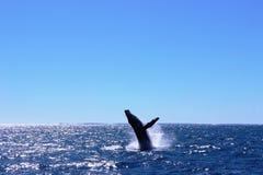 Wal, der Küste Australiens Fraser aufpasst Stockfotografie
