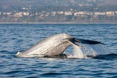 Wal, der in Kalifornien aufpasst Lizenzfreie Stockfotos