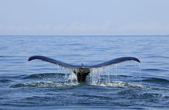 Wal, der in Puerto Vallarta aufpasst Lizenzfreie Stockfotografie