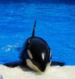 Wal in einem Pool Lizenzfreies Stockbild