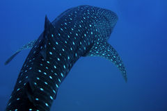 Wal-Haifisch Stockbild