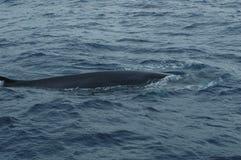 Wal im Azoren-Archipel Lizenzfreie Stockbilder