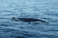 Wal im Azoren-Archipel Stockfotografie