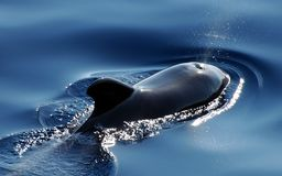 Wal, Marine Mammals, Pilot Whale Royalty Free Stock Images