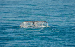 Wal Tail Hervey Bay Imagens de Stock
