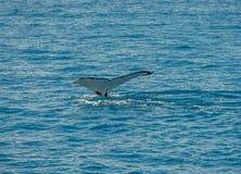 Wal Tail Hervey Bay Royalty Free Stock Image