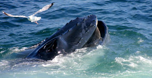 Wal und Seemöwe Stockfotos