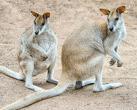 Walabís de las rocas, parque de la fauna de Featherdale, NSW, Australia Imagen de archivo libre de regalías