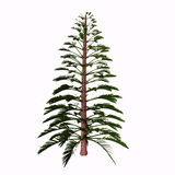 Walchia Tree. Walchia is a fossil conifer, cypress-like genus of Upper Pennsylvanian (Carboniferous) and lower Permian (about 310-290 Mya). It is found in Europe Stock Image