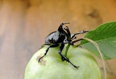 Walcząca ściga na guava owoc, (nosorożec ściga) obrazy stock