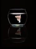 Walcząca ryba cieszy się życie w czystej wodzie zdjęcia royalty free