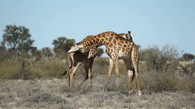 Walczące żyrafy zbiory
