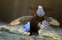 Walczące Czarne pardwy Zdjęcie Royalty Free