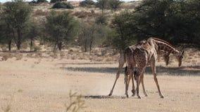 Walczący żyrafa byki zdjęcie wideo