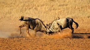 Walczący Błękitny wildebeest Obrazy Stock