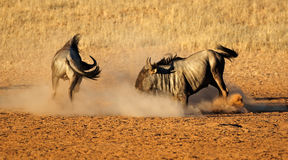 Walczący Błękitny wildebeest zdjęcie royalty free