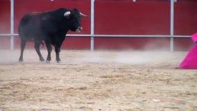 Walczący byka obrazek od Spain. czarny byk zdjęcie wideo