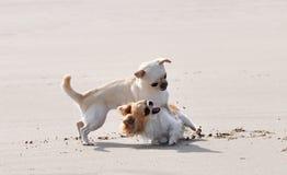 Walczący chihuahua na plaży Obrazy Royalty Free
