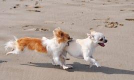 Walczący chihuahua na plaży Zdjęcia Stock