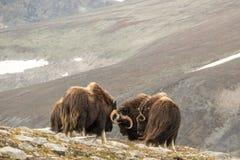 Walczący piżmo woły Norwegia zdjęcie stock