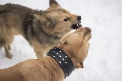 Walczący psa, Dwa psa one uśmiechają się szeroko przeciw each inny Obraz Stock