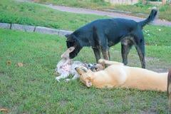 Walczący psa, Dwa psa one uśmiechają się szeroko przeciw each inny Zdjęcie Royalty Free