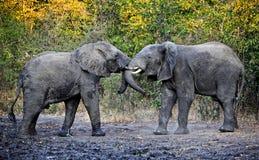 Walczący słonie Fotografia Royalty Free