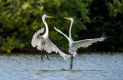 Walczący wielcy egrets (Ardea albumy) obrazy stock