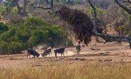 Walczący Wildebeest obraz royalty free