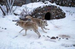 Walczący wilki Obraz Royalty Free