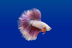 walcząca ryba Zdjęcie Stock