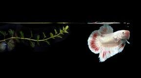 Walcząca ryba w naturalnym obraz royalty free