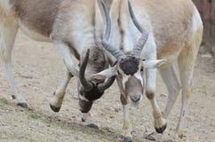 walczące addax samiec Zdjęcia Stock