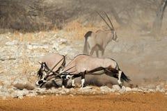 Walczące gemsbok antylopy Fotografia Royalty Free