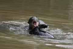 Walczące wydry Fotografia Stock