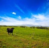 Walczący byka pasanie w Extremadura dehesa Obrazy Stock