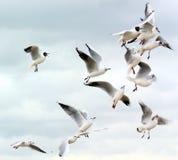 walczący karmowi seagulls Obraz Stock