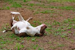 Walczący pies w parku dla spaceru, byk Zdjęcia Royalty Free