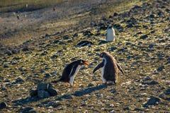 Walczący pingwiny Obrazy Stock