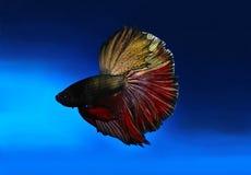 walczący rybi siamese Obraz Stock