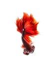 Walczący rybi tajlandzki na bielu Obrazy Stock