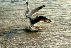 walczący seagulls Zdjęcia Stock